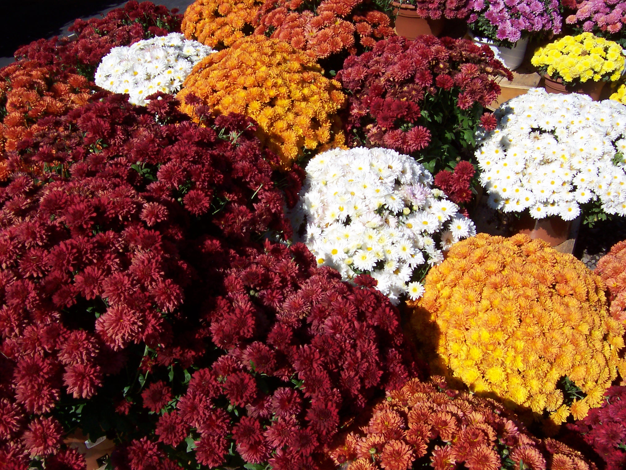 Mums for Sale in Kitchener Waterloo