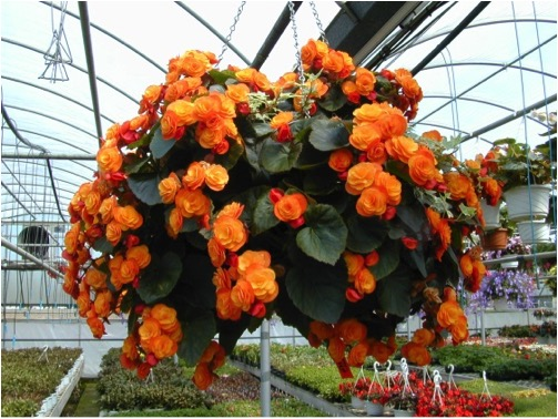 Ready Made Flower Hanging Baskets : Hanging baskets for mother s day greenway blooming