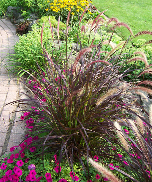 Buy purple fountain grass in kitchener waterloogreenway for Blue fountain grass
