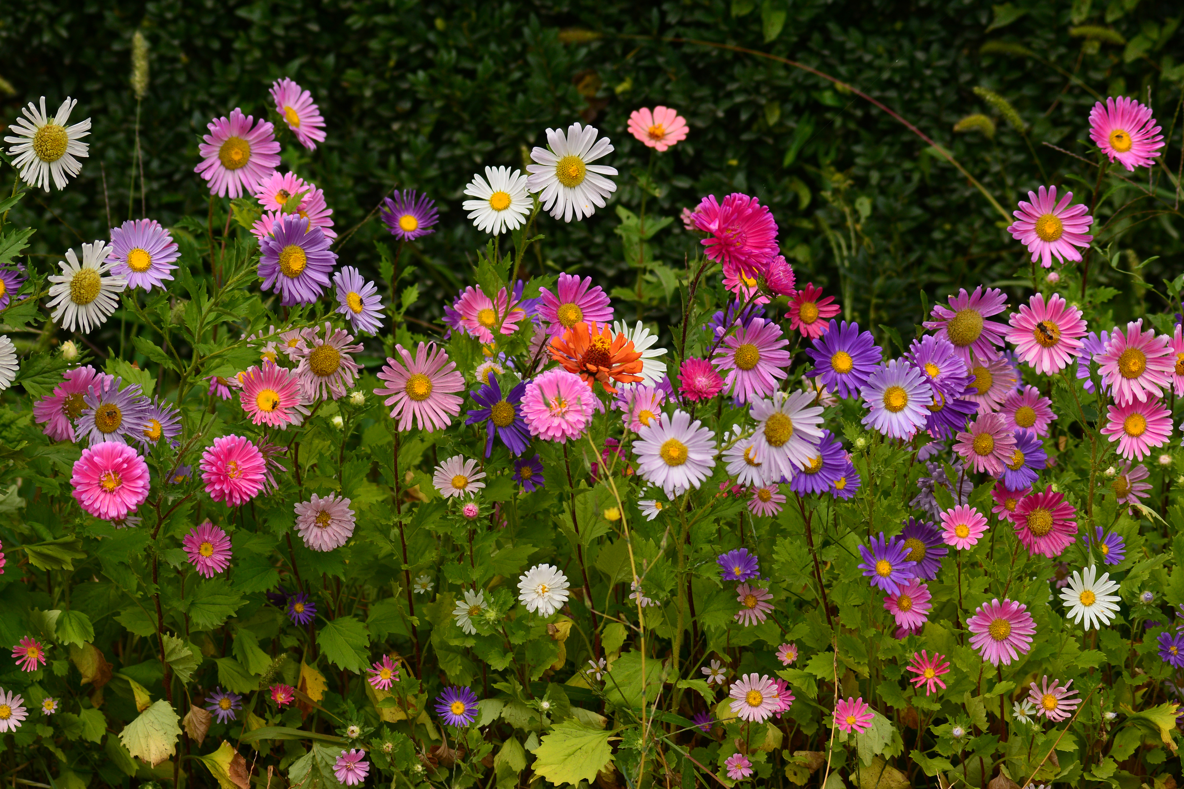 Fall blooming perennials 28 images perennial flower photo garden muses not another toronto - Fall blooming flowers ...