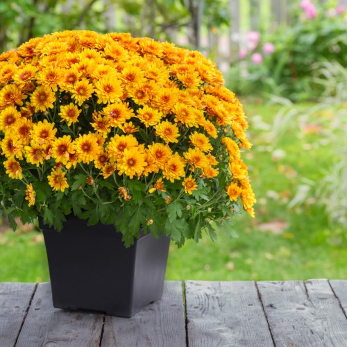 chrysanthemums in a planter