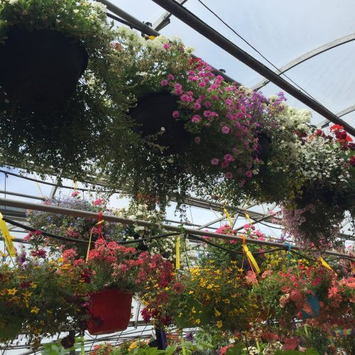 Hanging Baskets and Perennials in Kitchener