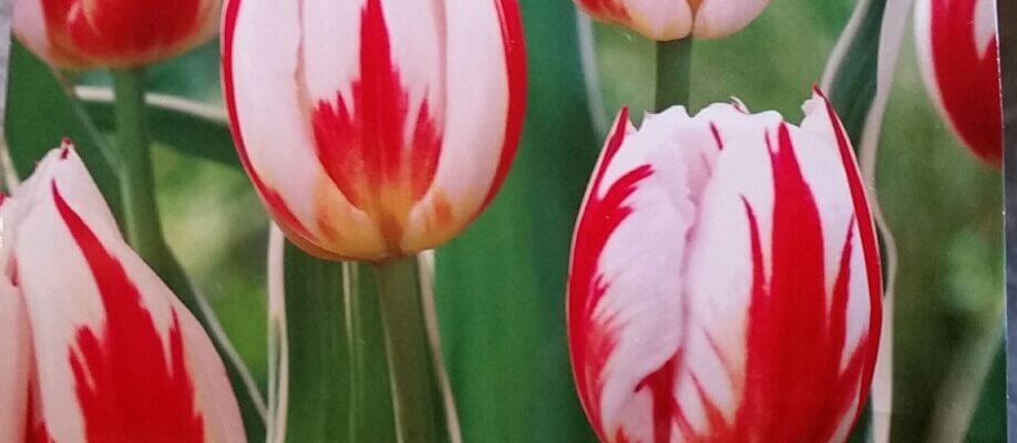 Spring Gardening Tips and Spring Plants in Kitchener