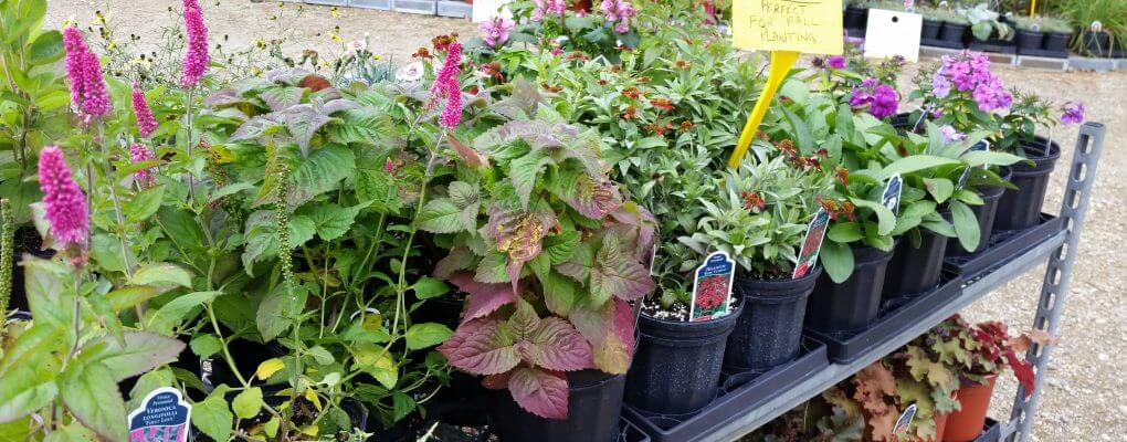 Perennial Plants and Fall Gardening in Kitchener