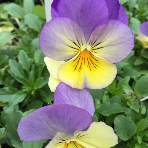 Cool wave pansy at Greenway Blooming Centre Kitchener
